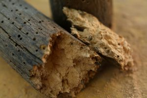 control and prevention of woodworm. Survey in France